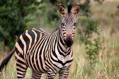 Zebra from Akagera National park in Rwanda — Stock Photo