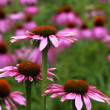 Purple Cone Flowers — Stockfoto