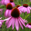 Purple cone flowers — Stock Photo