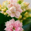 Stock Photo: Kalanchoe flowers
