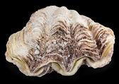 Shell clam — Stock Photo