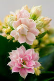 Kalanchoe flowers — Stock Photo