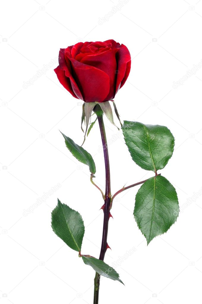 A red rose on a white background — Stock Photo #10840695