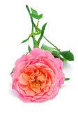 розовый повысился — Стоковое фото