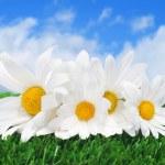 Oxeye daisies on the grass — Stock Photo