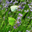 Butterflies and lavender - Stock Photo