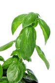 Basil, Ocimum basilicum — Stock Photo