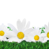 Oxeye daisies on the grass — Stock Photo