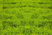 Background of grass — Stock Photo