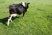 выпас коровы — Стоковое фото