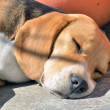 Beagle sleeping — Stock Photo