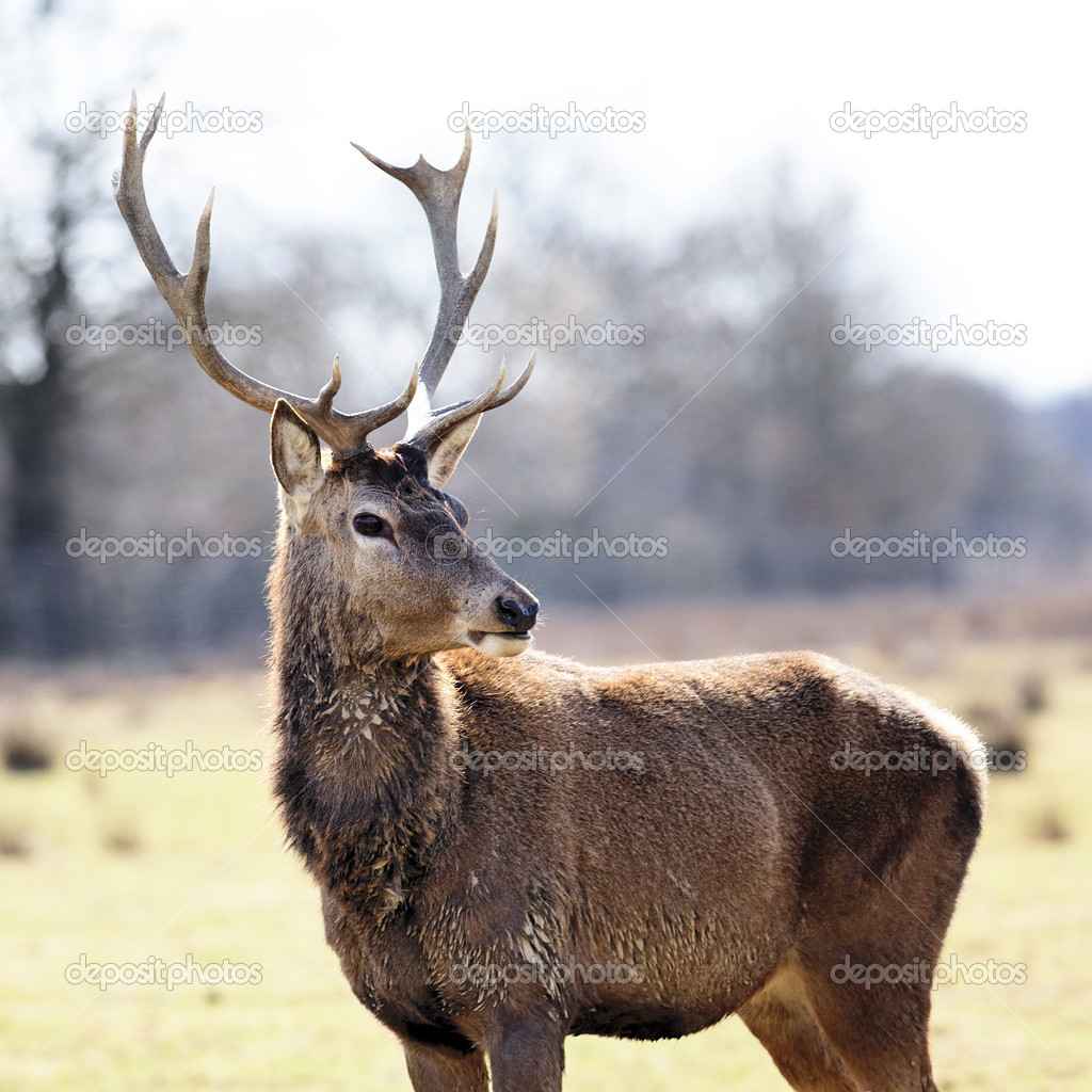 Wild deer in alert in a meadow in spring — Stock Photo #10800410