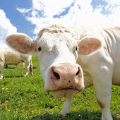 White head cow — Stock Photo