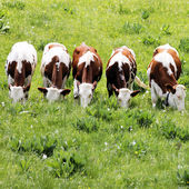 White and brown cows — Stock Photo