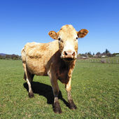 The most beautiful cow — Stock Photo