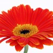 Gerbera isolated on white in studio — Stock fotografie