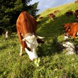 Mountain cows in France in spring — Stock Photo #11660361