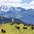 Alpine landscape and cows — Stock Photo