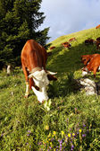 Mountain cows in France in spring — Stock Photo