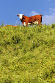 With cow and green grass — Stock Photo
