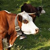 Portrait of alpine cow — Stock Photo
