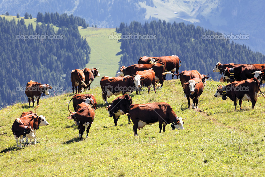 Alpine landscape with cows in France in spring — Stock Photo #11660331