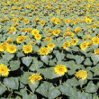 Big sunflower field — Foto de stock #11877913