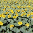 Big sunflower field — Stock Photo