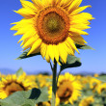 Sunflower field — Stock Photo #11878007