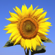 Sunflower over blue sky — Stock Photo #11878083