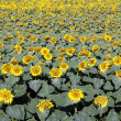 Sunflower field — Stock Photo #11962636