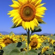 Sunflower field with blue sky — Stock fotografie