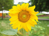 Zonnebloem bloem — Stockfoto