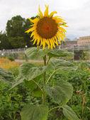 Sunflower flower — Stock Photo