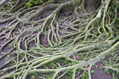Banyan roots in moss for background — Stock Photo
