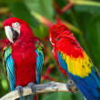 Couple of Green-Winged and Scarlet macaws in nature surrounding — Stock Photo #12133616