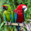 Couple of Green-Winged and Great Green macaws in nature surrounding — Stock Photo