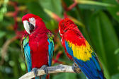 Couple of Green-Winged and Scarlet macaws in nature surrounding — Stock Photo