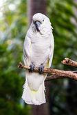Umbrella Cockatoo (Cacatua alba) in nature surrounding — Stock Photo