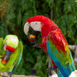 Постер, плакат: Couple of Green Winged and Great Green macaws eating fruits