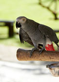 African Grey parrot in nature surrounding — Stock Photo