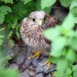 Baby common kestrel hiding on the ground among plants — Stock Photo