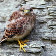 Young common kestrel sitting on a rock - Stock Photo