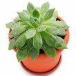 Sempervivum plant in a pot over white background — Stock Photo #11857530