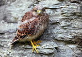 Young common kestrel sitting on a rock — Stock Photo