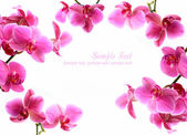 Pink orchid flowers isolated over white with copyspace — Stock Photo