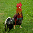 Rooster - cock on a grass — Stock Photo #11505821