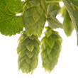 Hop cones - raw material for beer production, - Stock Photo