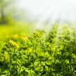 Stock Photo: Celandine flowers field