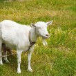 Goat grazed on a meadow — Stockfoto